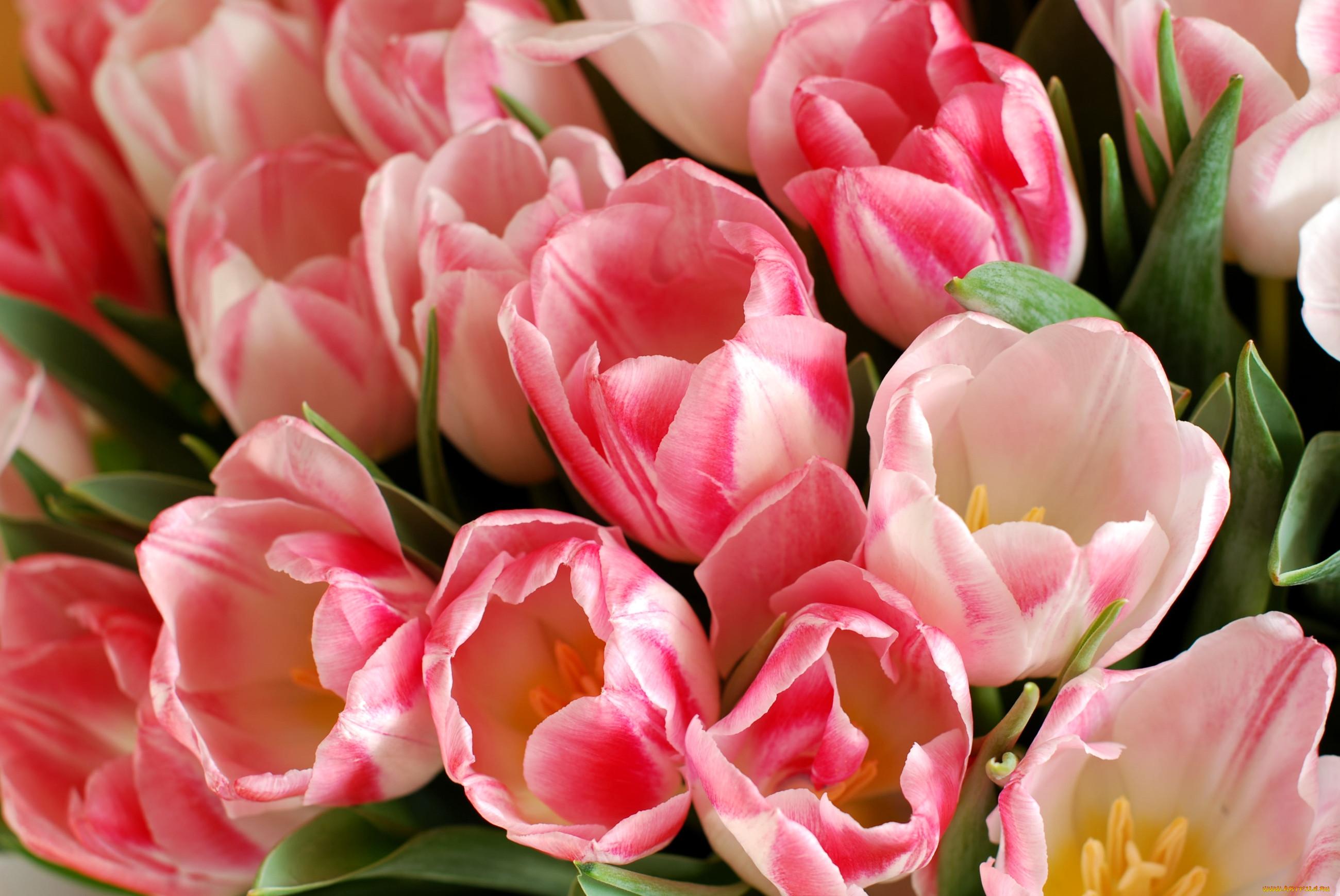 облака картинки красивые цветы тюльпаны розовые болячки кроликов являются